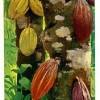 De nouvelles plantations de café et de Cacao pour l'Ogooué-Ivindo